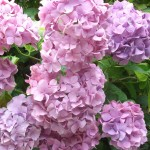 Close up hydrangeas