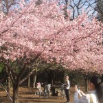 Early cherry blossems in Inokashira Park