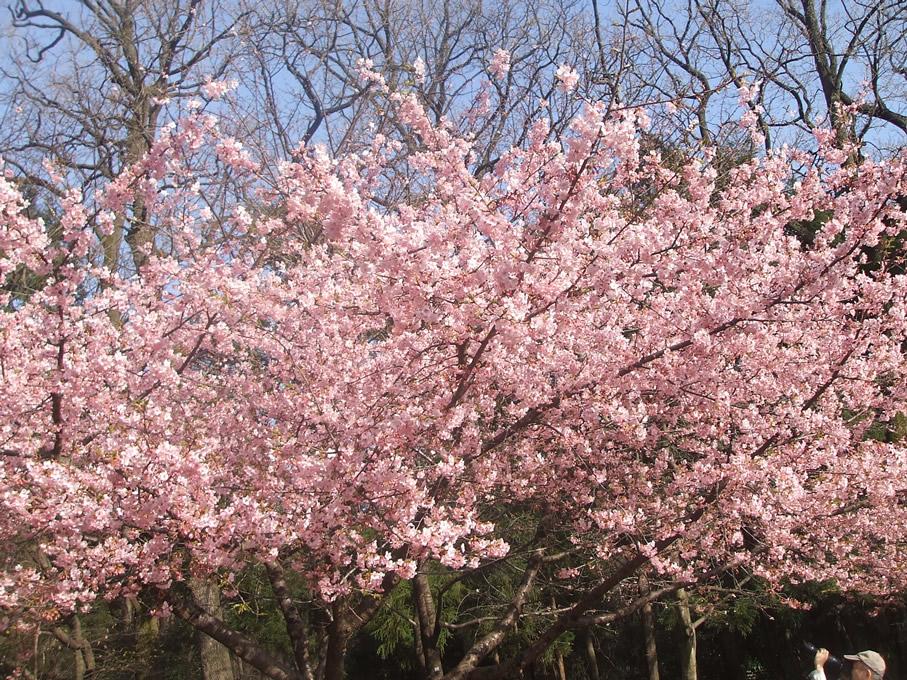 Early cherry blossems in Inokashira Park2
